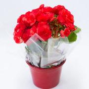 flores-mini-begonia-plantada-com-cachepo-aluminio-2