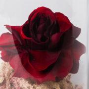 flor rosa bela e a fera vermelha 3_1